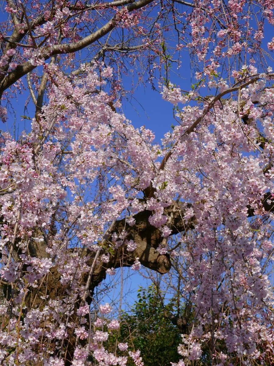 枝垂桜2020年3月その8