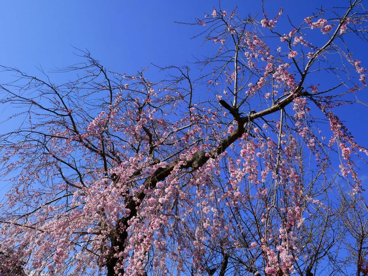 枝垂桜2020年3月そのL