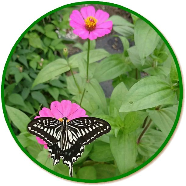アゲハ蝶-1--2