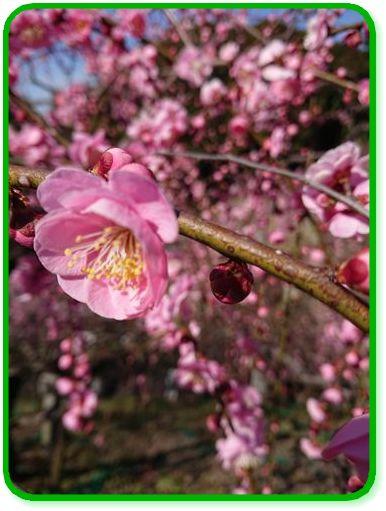 梅の花-1