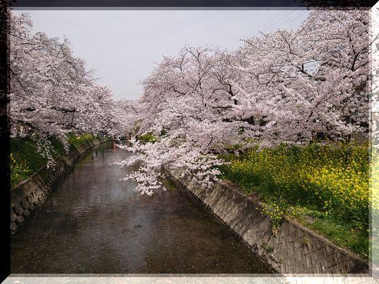 1-立体枠岩倉の桜