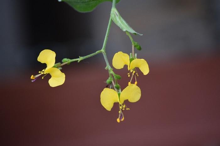 DSC_03762020黄色いつゆくさ