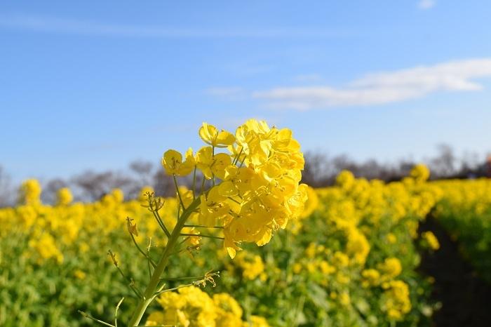 DSC_0183菜の花