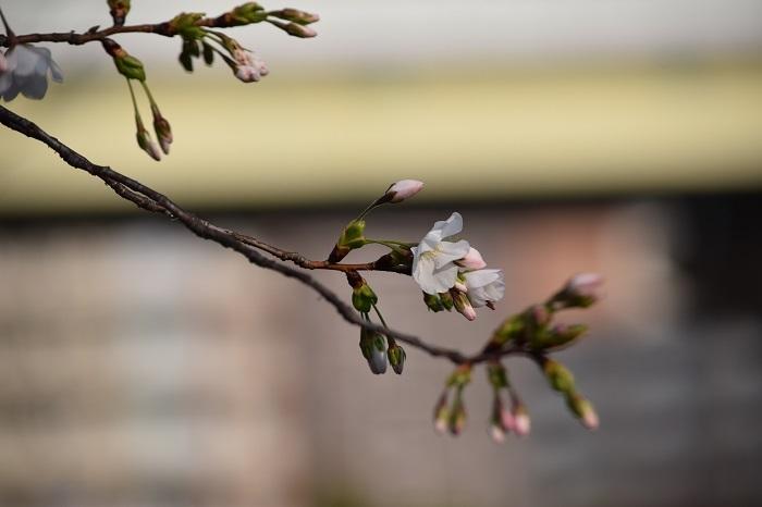 DSC_0226 (1)202103桜
