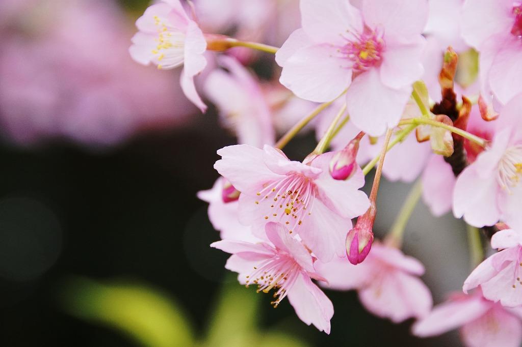 川津桜・4