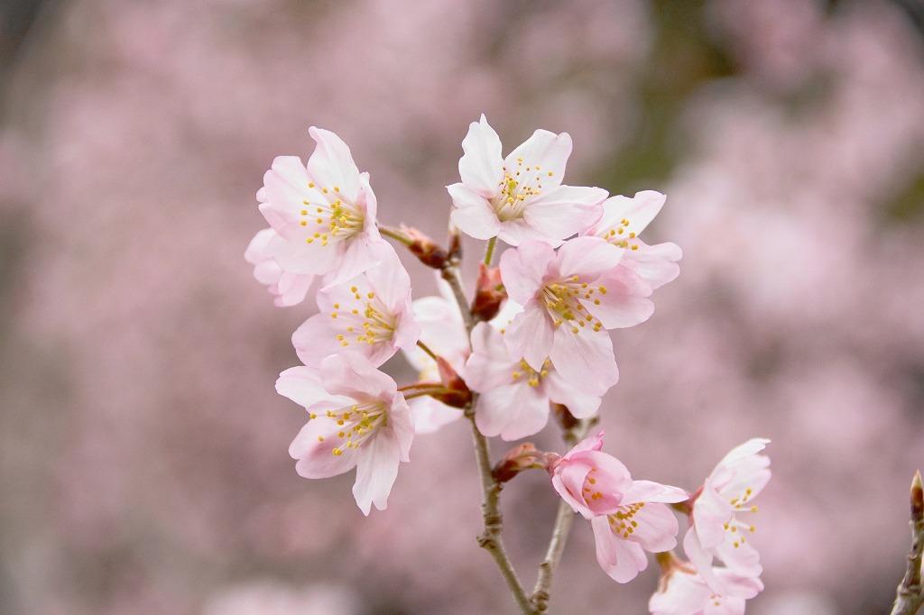 寒桜?・1