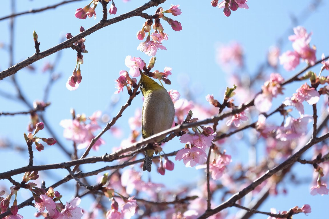 2021.02.25 和泉川 河津桜でメジロ 春爛漫