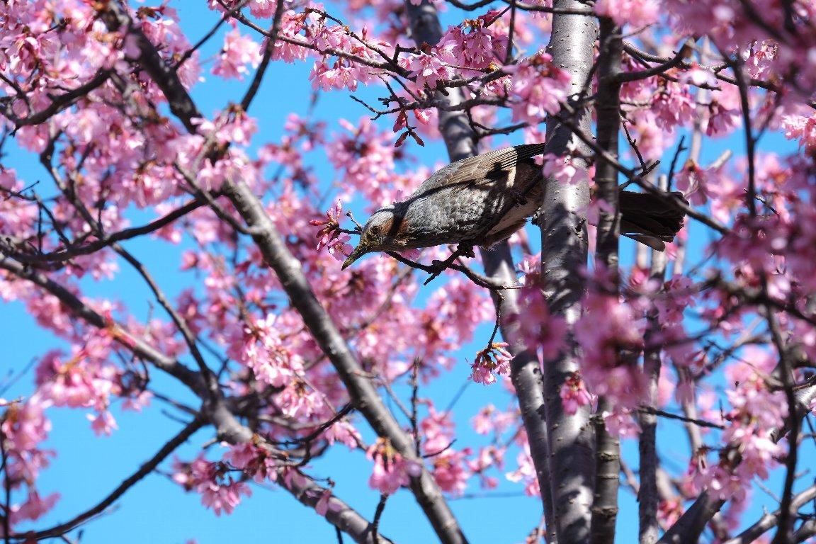2021.03.03 和泉川 おかめ桜にヒヨドリ