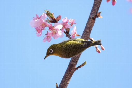 2021.02.25 和泉川 河津桜でメジロ ポーズ