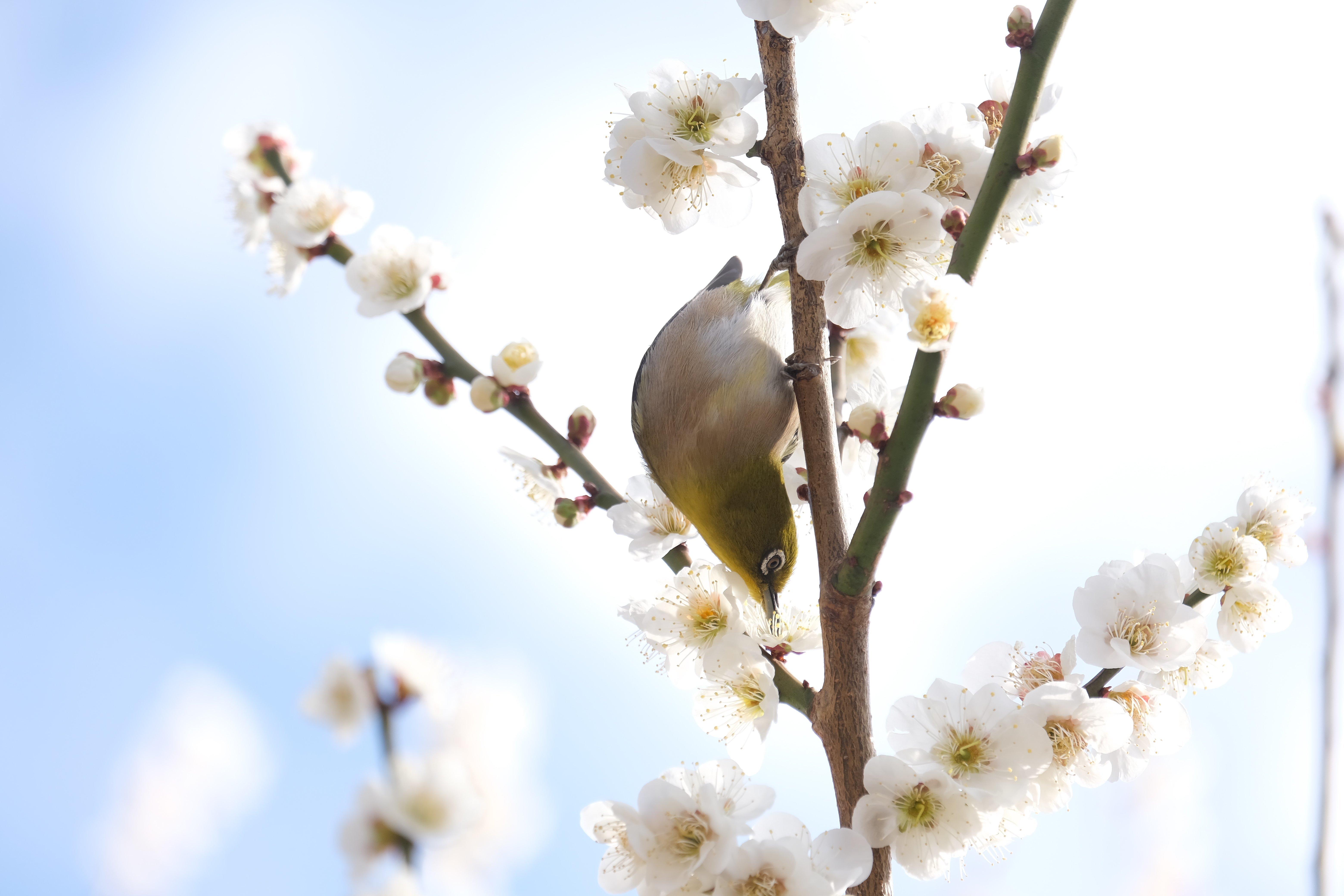2021.02.25 和泉川 梅にメジロ 吸蜜