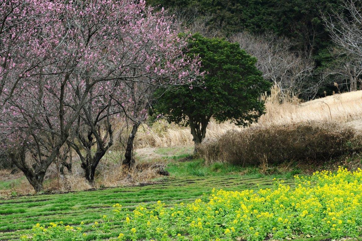 2021.03.06 追分市民の森 菜の花と花桃