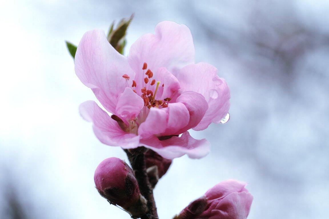 2021.03.06 追分市民の森 ハナモモ 開花