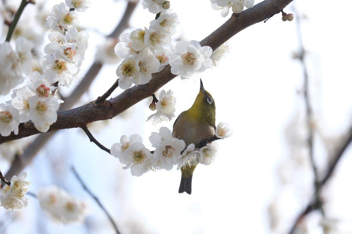 2021.02.25 和泉川 梅とメジロ 春