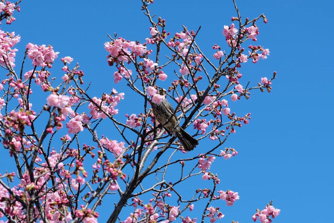 2021.03.14 和泉川 陽光桜にヒヨドリ