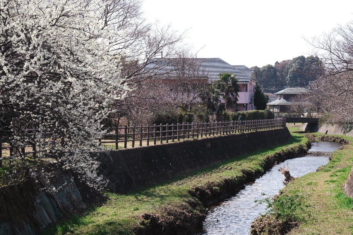 2021.03.16 和泉川 スモモ