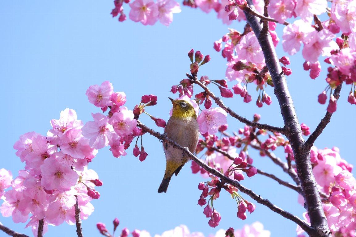 2021.03.18 和泉川 陽光桜とメジロ