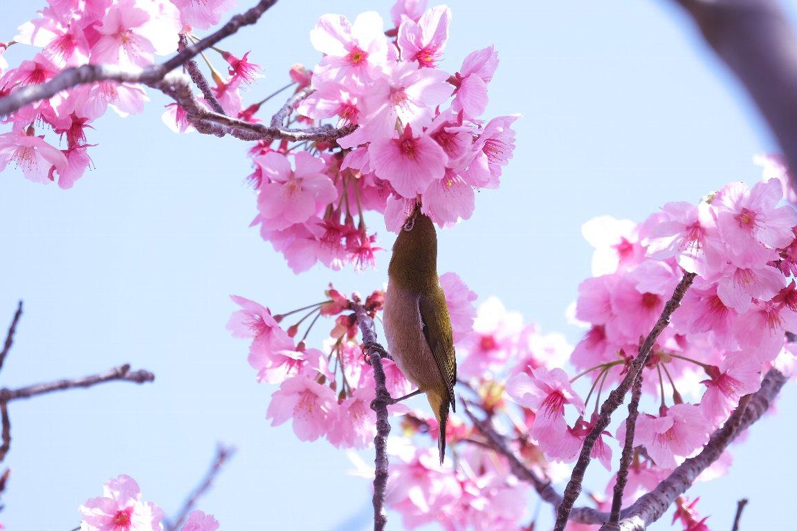 2021.03.18 和泉川 陽光桜にメジロ