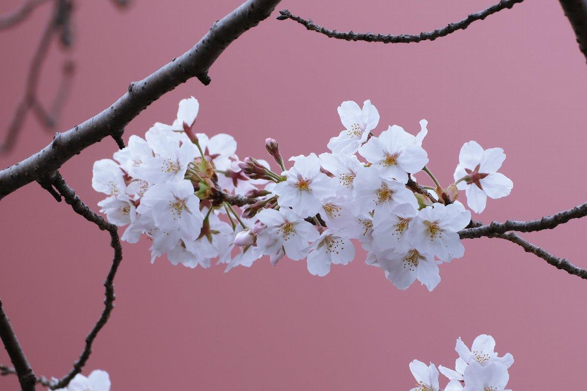 2021.03.25 瀬谷市民の森 ソメイヨシノ