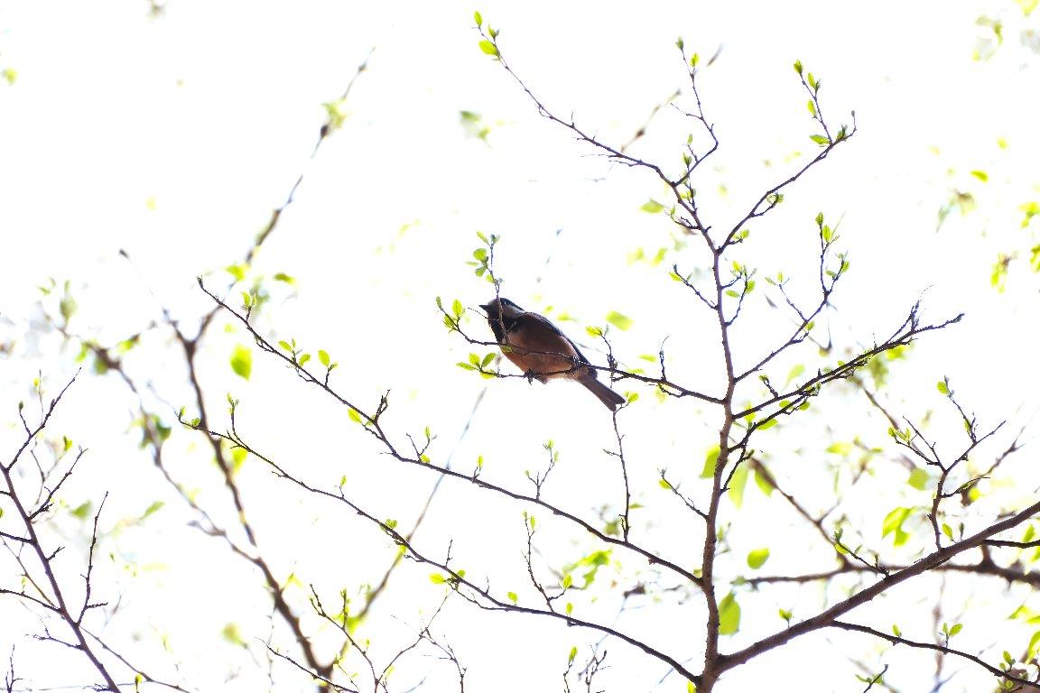 2021.03.26 追分市民の森 若葉の枝にヤマガラ