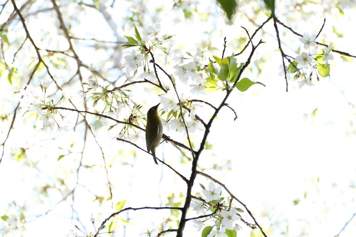 2021.03.26 追分市民の森 山桜にメジロ