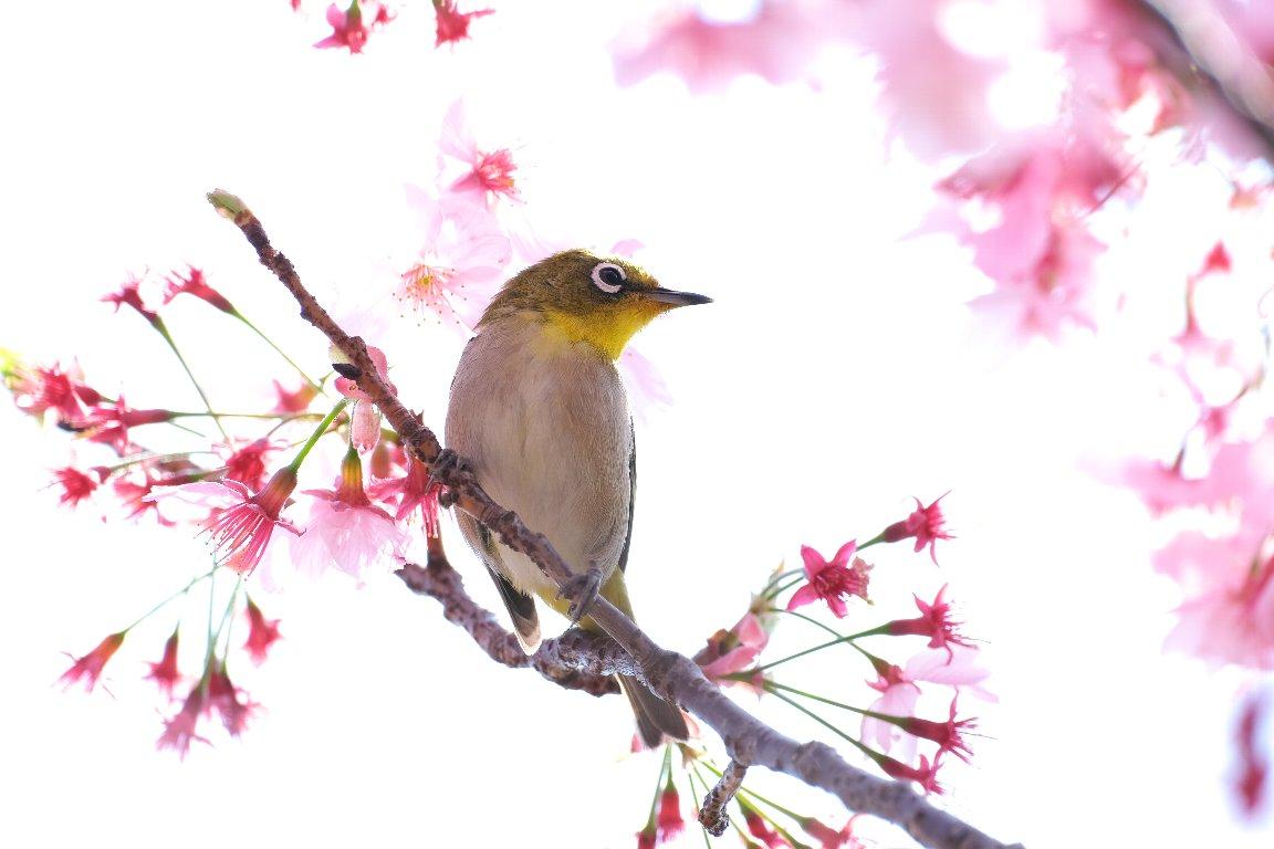 2021.03.27 和泉川 陽光桜にメジロ