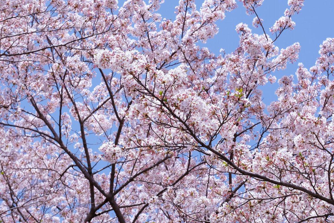 2021.03.31 瀬谷市民の森 サクラ 花弁舞う