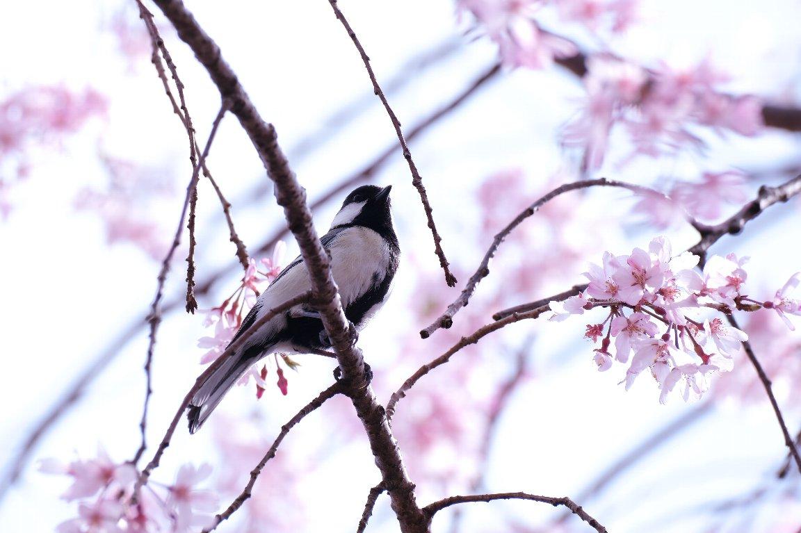 2021.04.01 和泉川 枝垂桜にシジュウカラ