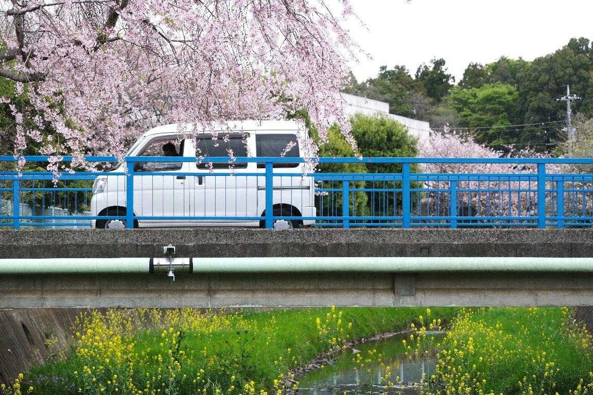 2021.04.03 和泉川 北の橋 枝垂桜と菜の花