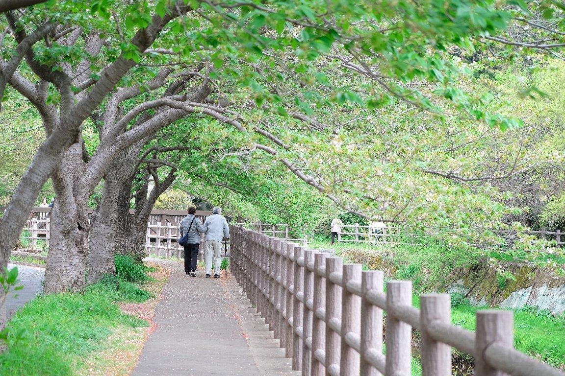 2021.04.06 和泉川 川沿い染井吉野 父と娘