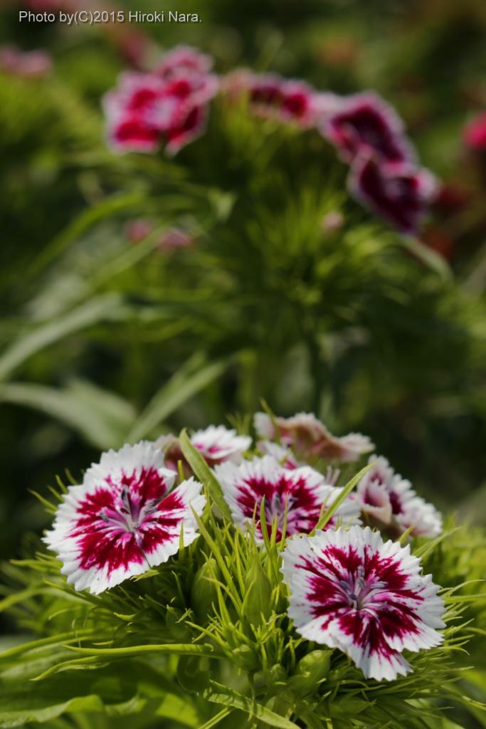 光景 sight0021  ナデシコ 花 FLOWERS