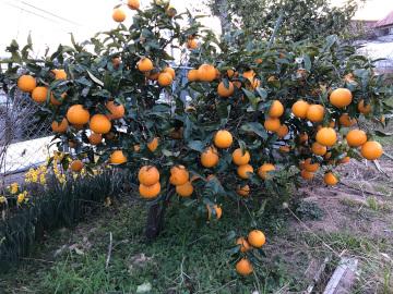 スライス大根干しと柑橘収穫3