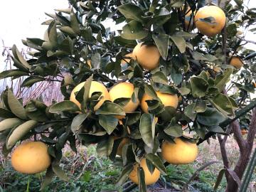 スライス大根干しと柑橘収穫4