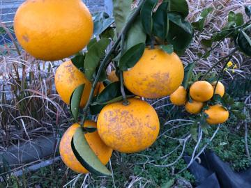 スライス大根干しと柑橘収穫5
