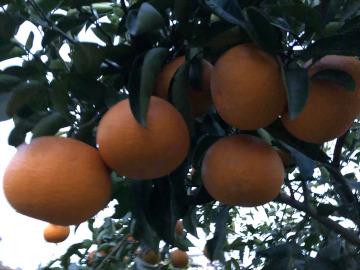 スライス大根干しと柑橘収穫6
