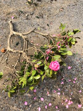 椎田の木の伐採5