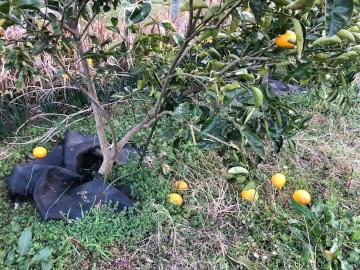 雨が溜まった田んぼと落ちた柑橘5
