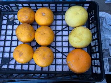 雨が溜まった田んぼと落ちた柑橘6