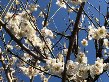 いっぱい咲いた梅の花と農園準備完了