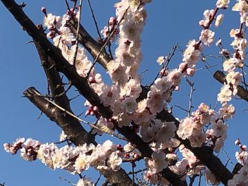 いっぱい咲いた梅の花と農園準備完了2