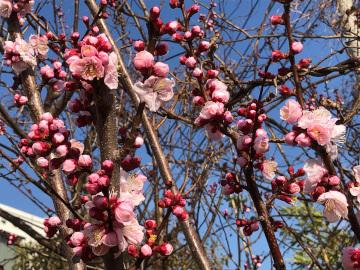 いっぱい咲いた梅の花と農園準備完了4