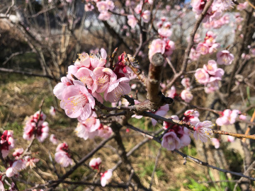 いっぱい咲いた梅の花と農園準備完了3