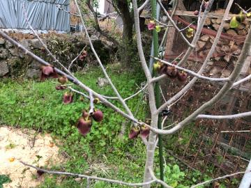 ヤーコンの芽がゴッソリ6