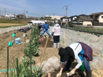 さつま芋苗植え第2弾と土の補充