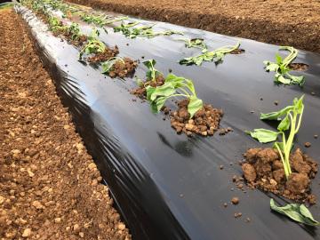 さつま芋苗植え第2弾と土の補6