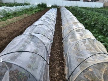さつま芋苗植え第2弾と土の補7