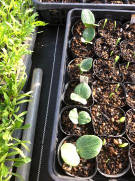 種蒔きと苗の様子5