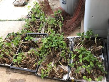 ヤーコンの種芋準備と種芋植え7