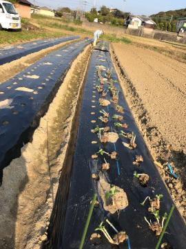 ヤーコンの種芋準備と種芋植え8