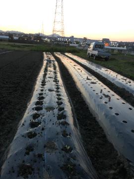 ヤーコンの種芋準備と種芋植え9