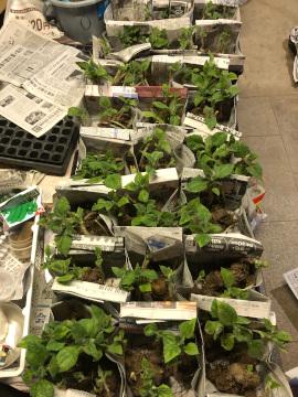 ヤーコンの種芋準備と種芋植え10